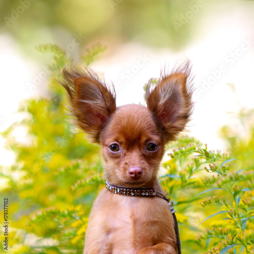 Portrait Of A Small Red Puppy On A Background Of Yellow
