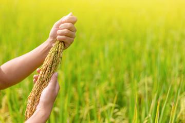 Farmer woman hand holding rice