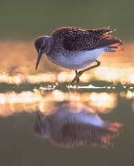Wood sandpiper (Tringa glareola) with evening baclkight