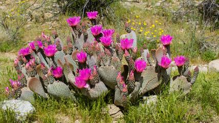Beavertail Cactus (Opuntia basilaris) with purple blooms in desert