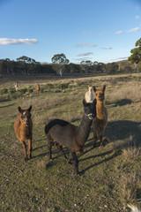 Alpacas farm in Australia