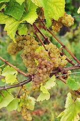 Weißer Burgunder Pinot blanc Pinot Bianco