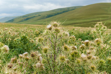 varieties of thorny plants, prickly bushes in the steppes of Kazakhstan, a delicacy for camels