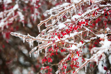 Icy branches with red berries of barberry after freezing rain