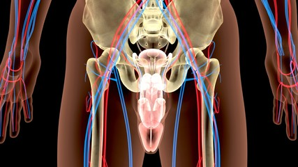 Male Genitourinary System Illustration . 3D render