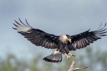 Flying Caracara