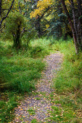 Gravel trail in Alaskan woods with fall color