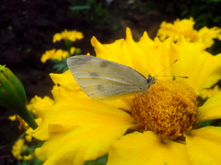 Butterfly on a yellow flower marigold, macro. Selective focus.
