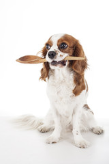 Hungry dog with kitchen spoon. Cute cavalier king charles spaniel dog photo in studio white isolated background. Dog cut out. Hungry dog illustration. Cute.