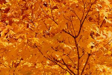 Golden autumn leaves on the tree