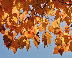 Golden autumn leaves closeup