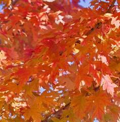 Yellow orange maple leaves