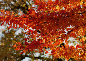 Orange maple leaf branches