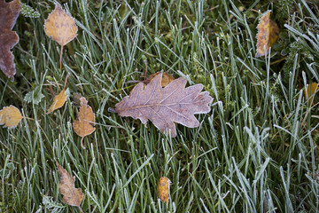 Frozen oak leaf on the ground. Green grass after cold night.
