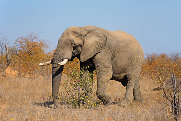 Large African bull elephant (Loxodonta africana), Kruger National Park, South Africa.