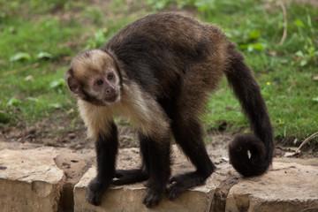 Fototapete - Golden-bellied capuchin (Sapajus xanthosternos)