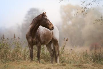 Appaloosa Pferd auf einer Wiese am Morgen im Herbst
