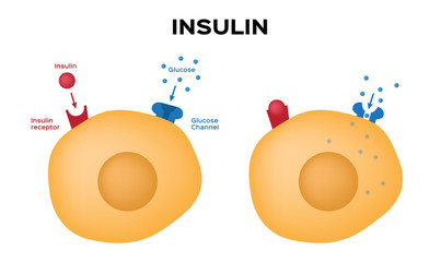 Insulin unlocks the cell's glucose channel