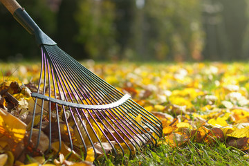 Foto op Plexiglas Tuin Raking fallen leaves in the garden , detail of rake in autumn season.