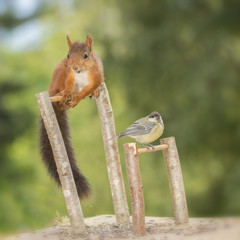 squirrel and great tit doing Gymnastics
