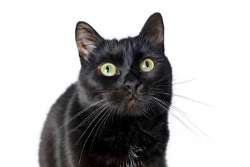 Muzzle of black cat on a white background