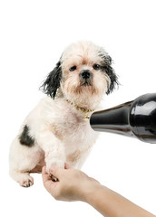 Little dog was blown hair After shower need to blow dry the hair of the dog. image isolated and white background. ( clipping path )