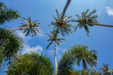 Coconut palms on the background of blue sky