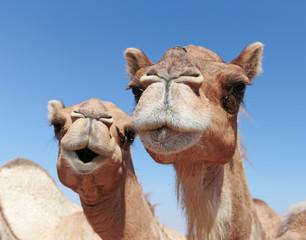 Photo sur Plexiglas Chameau camels in the desert