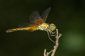 Image of trithemis aurora dragonfly(female) on nature background. Insect Animal