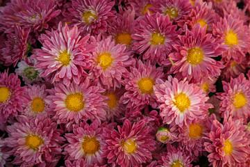 a huge number of red flowering chrysanthemums collected in one place, for congratulations and wishes