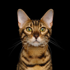 Portrait of Gold Bengal Cat isolated Black Background, front view