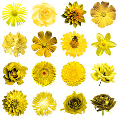 Mix collage of natural and surreal yellow flowers 16 in 1: peony, dahlia, primula, aster, daisy, rose, gerbera, clove, chrysanthemum, cornflower, flax, pelargonium isolated on white