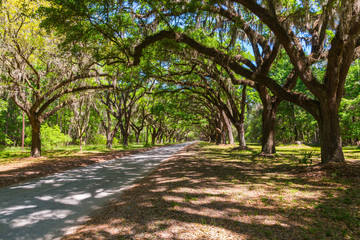 Canopy of old live oak trees draped in spanish moss.