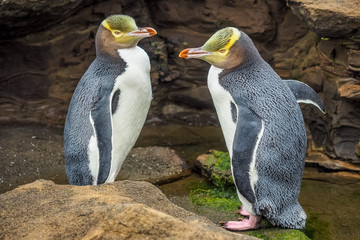 Stores à enrouleur Pingouin Tow Yellow Eyed Penguins are in the wild. New Zealand native penguin.