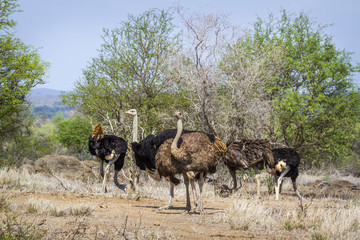 African Ostrich in Kruger National park, South Africa