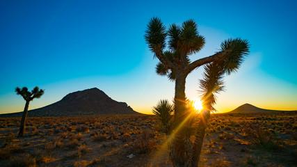 Desert Joshua Tree Sunrise