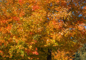 Golden Autumn Tree Backgrund 3