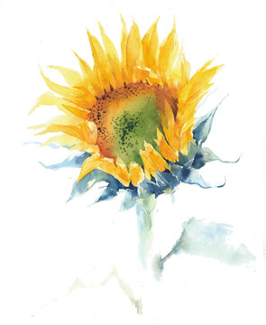 Sunflower single flower summer yellow flower watercolor painting illustration isolated on white background