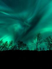 Amazing Aurora Borealis in North Norway above trees, Tromso City,
