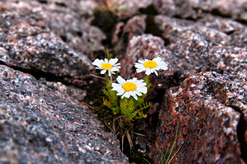 Foto auf AluDibond Arktis arctic dwarf daisies grew in a crack in the rock