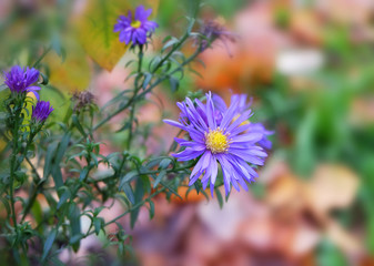 Wild aster, purple autumn flower.