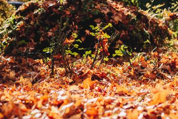 Bright orange maple leaves fallen in the garden
