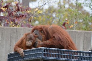 Orangutan in the outdoors