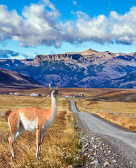The guanaco grazing in the steppe