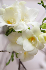 White Freesia flowers. Bouquet