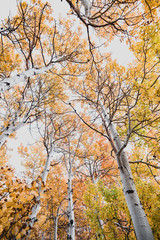 Low angle view of birch tree in autumn