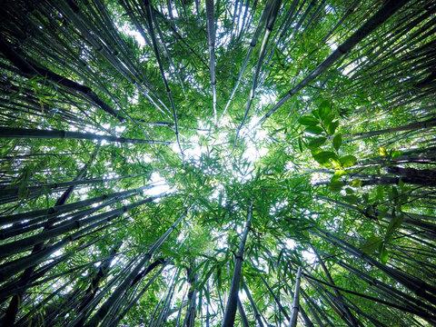 Hawaiian Bamboo