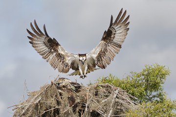 Osprey landing on a nest with tree branches and spanish moss in Florida