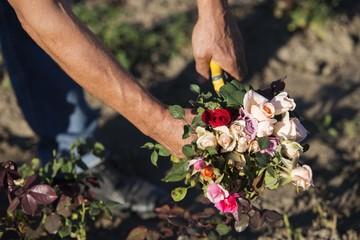 man cutting roses