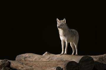 Wolf on the woods.